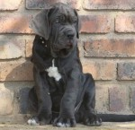 DELSAMAE (Neapolitan Mastiff)