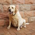 CARMIKEETIN (Retriever Labrador)