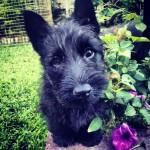 MAXIES (Scottish Terrier)