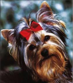 IRMADU (Yorkshire Terrier)