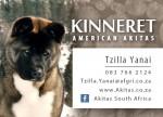 KINNERET (American Akita)