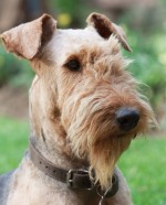 KURIAKOS (Airedale Terrier)
