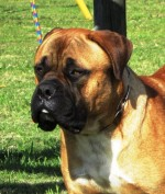 GAMEKEEPER (Bullmastiff)