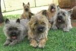 MALONOWA (Cairn Terrier)