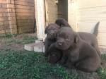 MAESTOSA (Retriever Labrador)