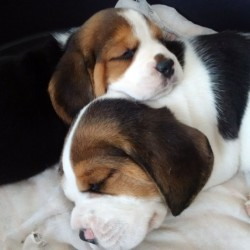 CHRISBE (Beagle)