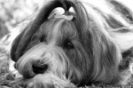 ASHVALE (Bearded Collie)