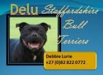 DELU (Staffordshire Bull Terrier)