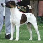 BUXTON  Fox Terrier (Smooth)