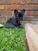 MAWILKHEN (French Bulldog)
