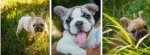 GALACTICA (French Bulldog)