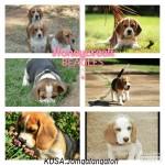 JOMQATANQATON (Beagle)