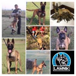 LAMNIK (Belgian Shepherd Malinois)