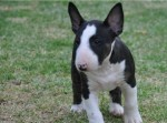 LOMEJO (Bull Terrier)