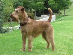 SHAMPADROCK (Irish Terrier)