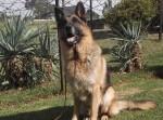 VAN FRIEDENHEIM (German Shepherd Dog)