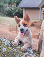 JABULABLU (Australian Cattle Dog)